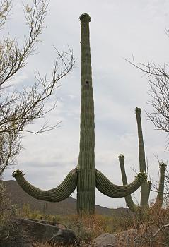 How BIG will a SAGUARO get?-two-armed-saguaro.jpg