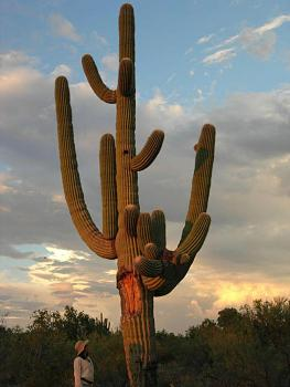 How BIG will a SAGUARO get?-cactuscolleen9-05-full.jpg