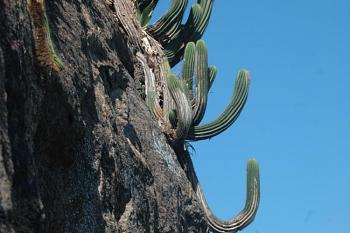 How BIG will a SAGUARO get?-cactus-2006-br.jpg