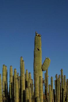 How BIG will a SAGUARO get?-cactus_forest.jpg