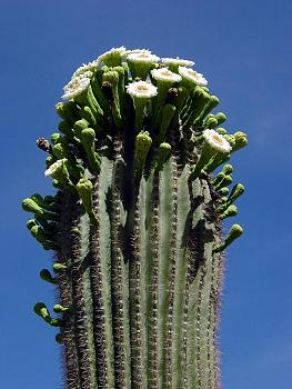 How BIG will a SAGUARO get?-cargig27.jpg