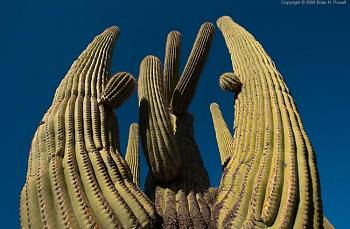 How BIG will a SAGUARO get?-saguaro_arms.jpg