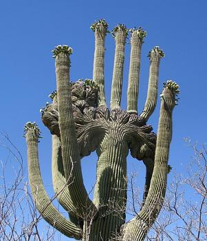 How BIG will a SAGUARO get?-saguaro-crest.jpg