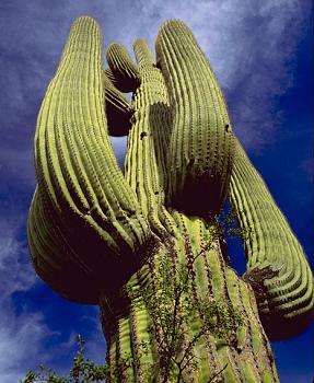 How BIG will a SAGUARO get?-saguarosaguaro.jpg