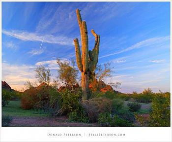 How BIG will a SAGUARO get?-saguaro-cactus-papago.jpg