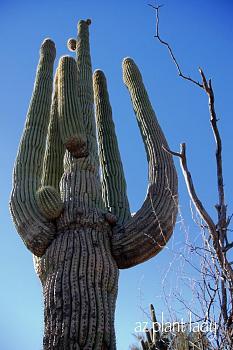 How BIG will a SAGUARO get?-large-saguaro-1-.jpg