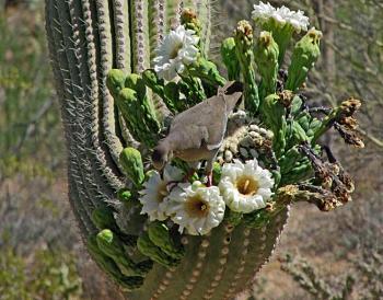 How BIG will a SAGUARO get?-saguaro1sm.jpg