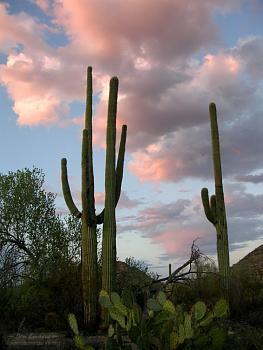 How BIG will a SAGUARO get?-saguarowestpinksky.jpg