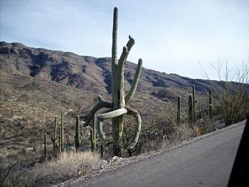 How BIG will a SAGUARO get?-sany.jpg