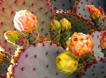 How BIG will a SAGUARO get?-sw-prickly-pear-lg.jpg
