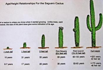 How BIG will a SAGUARO get?-saguaro_age_chart_2.jpg