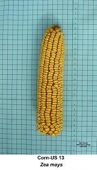 """just """"stuff""""-corn_us13_ear.jpg"""