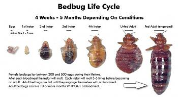 a warning to everyone-bed-bug-lifecycle-stages.jpg