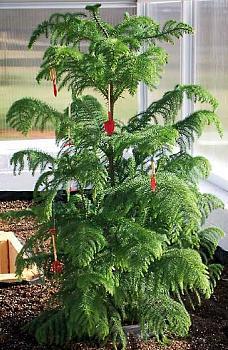 Christmas trees . . .-norfolkpine.jpg