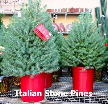 Christmas trees . . .-italian-stone-pine-xmas.jpg