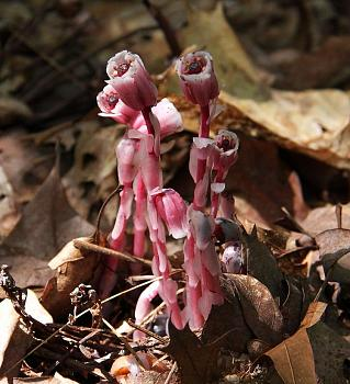 Monotropoideae-indian-pipe-7..jpg