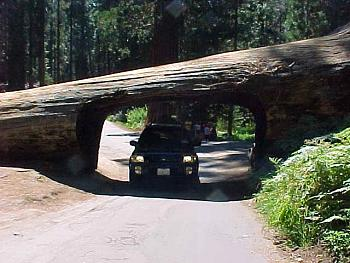 A Night Out on CityProfile - Photo Contest-driving-through-fallen-sequoia.jpg