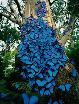 Quartzville gold-blue-butterfly-tree.jpg