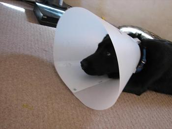 My dog gets neutered today.-opie-surgery-002.jpg