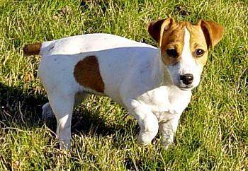 Dogs-molly-my-female-jack-russel-12-17-04-2-.jpg