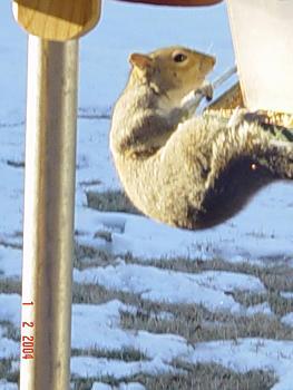 Photos of animal antics for your enjoyment.-squirrel-antics-cowbirds-063.jpg
