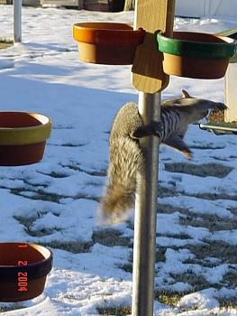 Photos of animal antics for your enjoyment.-squirrel-antics-cowbirds-021.jpg