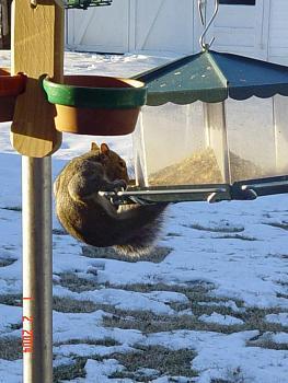 Photos of animal antics for your enjoyment.-squirrel-antics-cowbirds-022.jpg