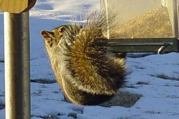 Photos of animal antics for your enjoyment.-squirrel-antics-cowbirds-024_fixed-1-.jpg