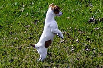 Dogs-molly-taking-better-look-my-jack-russel-puppy-_edited.jpg