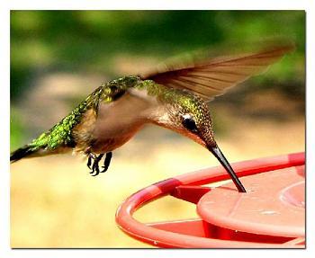 Photos of animal antics for your enjoyment.-ruby-throated-hummingbird-female-25.jpg