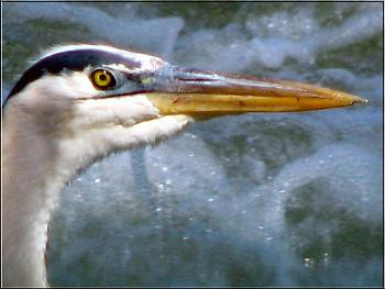 Photos of animal antics for your enjoyment.-great-blue-heron.jpg