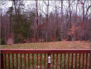 Photos of animal antics for your enjoyment.-does-eastern-whitetail-deer-backyard-late-one-afternoon.jpg