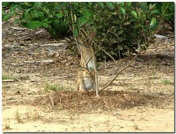 Photos of animal antics for your enjoyment.-eastern-cottontail-rabbit-cutting-limb-shrub.jpg