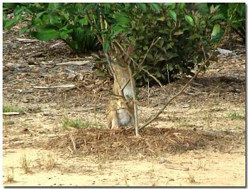 Photos of animal antics for your enjoyment.-eastern-cottontail-rabbit-cutting-limb-shrub.jpg