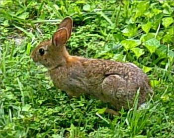 Photos of animal antics for your enjoyment.-eastern-cottontail-rabbit-25.jpg