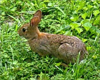 Photos of animal antics for your enjoyment.-eastern-cottontail-rabbit-25.jpg