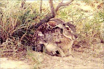 Photos of animal antics for your enjoyment.-jackrabbit-alamo-movie-site-bracketville-tx-25.jpg