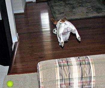 What do you do with your dog in your area?-molly-taking-flying-leap-chasing-her-ball.jpg