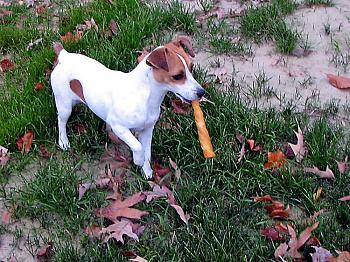 What do you do with your dog in your area?-molly-leather-bone.jpg