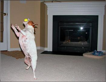 What do you do with your dog in your area?-molly-catching-her-tennis-ball-first-bounce.jpg