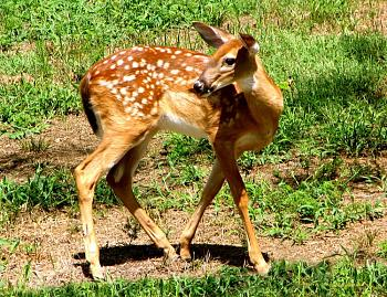 Just animal photography......photos you have taken!-eastern-white-tailed-deer-fawn.jpg