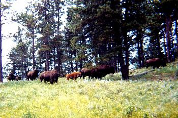 Just animal photography......photos you have taken!-bison-yellowstone-park-25.jpg