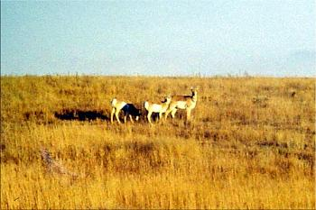 Just animal photography......photos you have taken!-pronghorns.jpg