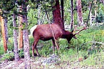 Just animal photography......photos you have taken!-elk-yellowstone-park.jpg