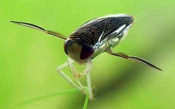 A bug Freud could love-lesser-water-boatman-corixa-punctata-wikipedia.jpg