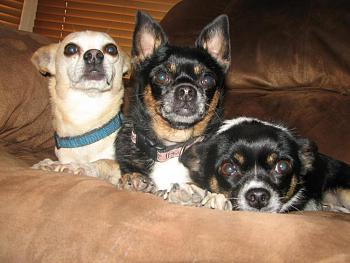 Lets see your pet pics!-chihuahuas2-021.jpg