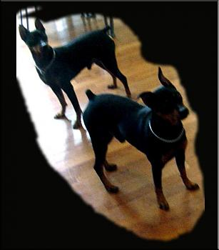 Dogs-max-jasper-father-son-min-pins%3D.jpg