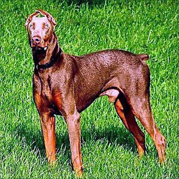 Dogs-copy-carltons-great-dane-2.jpg