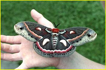 What sort of critter is this?-cecropia.jpg