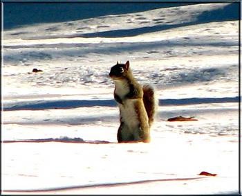 Photos of animal antics for your enjoyment.-gray-squirrel-february-2010.jpg